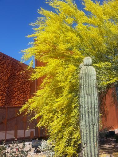 saguaro ironwood arizona cactus rust trees desert landscape scottsdale az