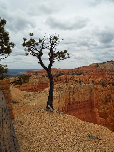 tree bryce canyon utah canyon bryce national park nature sandstone landscape rock red desert orange scenic travel america geology stone usa landmark erosion unique famous outdoor natural formation colorful mountain hoodoo color tourism pine ...